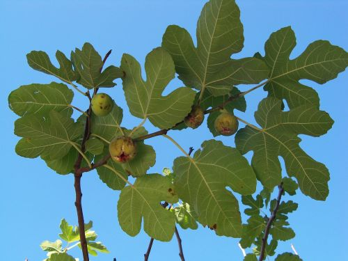 autumn fig fig tree