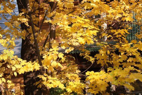 autumn gold maples listopad