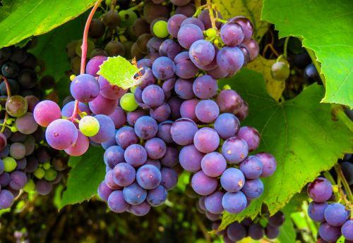 autumn grapes grape