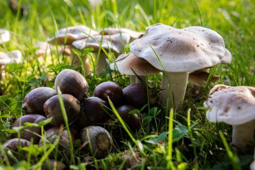 autumn mushrooms acorns