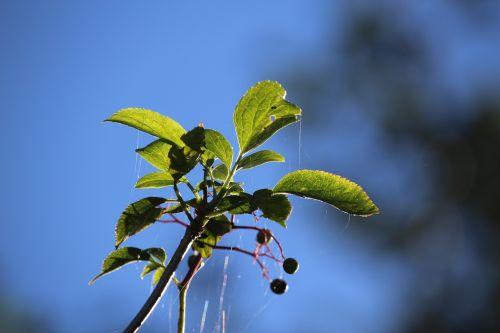 autumn elder berries