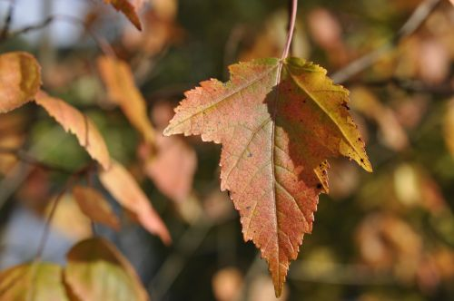 autumn autumn leaf nature