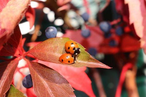 autumn vine ladybug