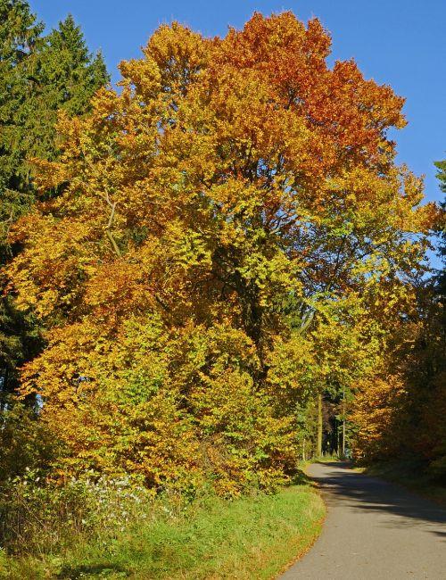autumn beech mixed forest sauerland