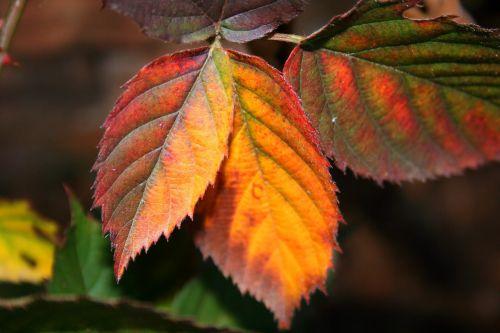 Autumn Bramble Leaves
