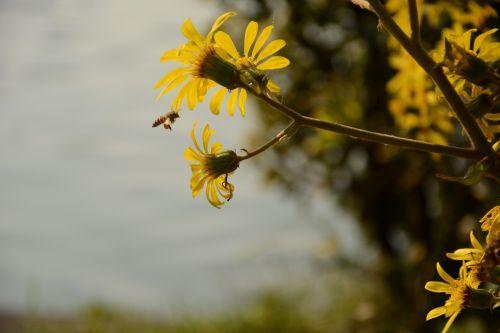 autumn chrysanthemum bee xuanwu lake