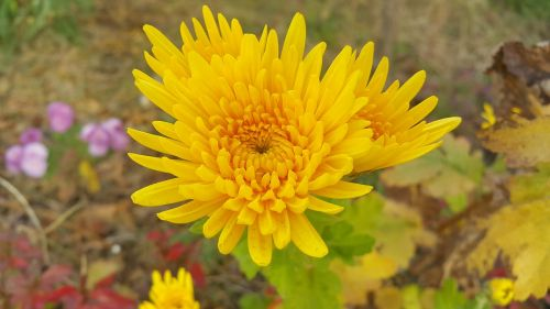 autumn chrysanthemum yellow flower chrysanthemum