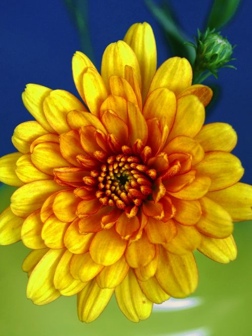 autumn chrysanthemums autumn flower aster