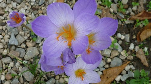autumn crocus flower light blue