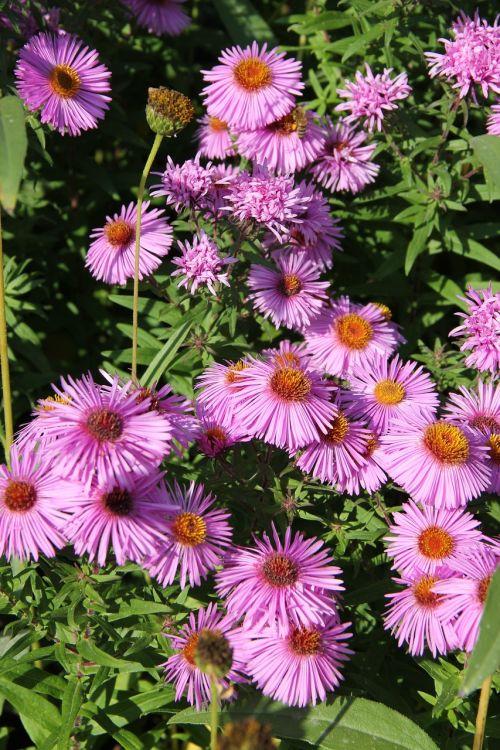 rudens daigynas,ruduo,violetinė,Petite,gėlė,gėlės,purpurinės gėlės,gamta,augalas,sodo gėlės,sodas,metų laikas,botanika,botanikos,flora,rudens gėlės