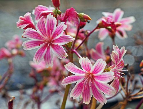 rudens gėlės,žvaigždė,rožinis,sodas,augalas,parkas,nuolaidos,žiedas,žydėti,gėlė,Uždaryti,flora