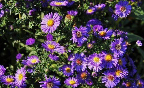 autumn flowers blue autumn daisies blue