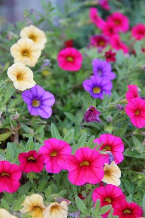 autumn flowers mini petunia zauberglockchen