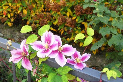 autumn flowers clematis garden fence