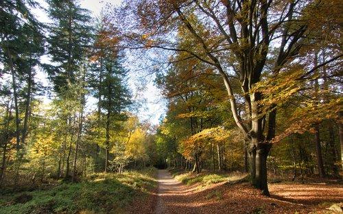 autumn forest  yellow  golden