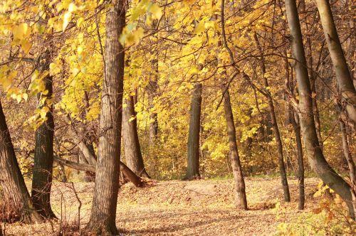 autumn forest listopad golden autumn