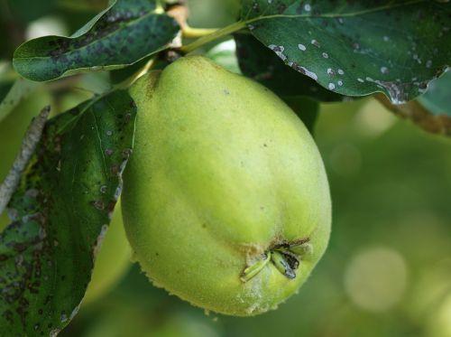 autumn fruit quince green