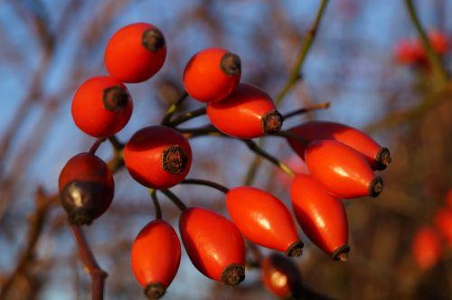 the rosehip fruits rose hips autumn fruits