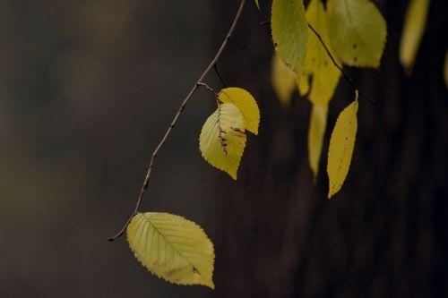 autumn gold yellow leaves november