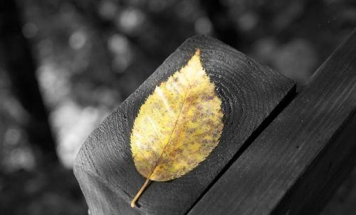 autumn leaf black and white golden leaf