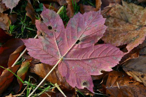 autumn leaf maple leaf autumn