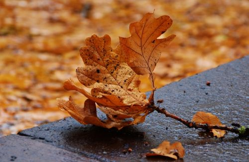 autumn leaf oak leaf leaf fall