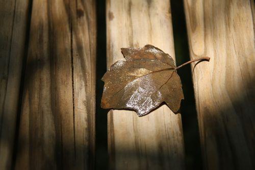 autumn leaf close-up dry leaf