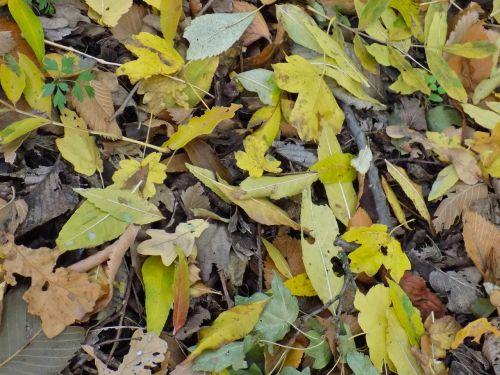 autumn leaf foliage yellow sheet