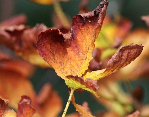 autumn leaf  leaf  autumn leaves