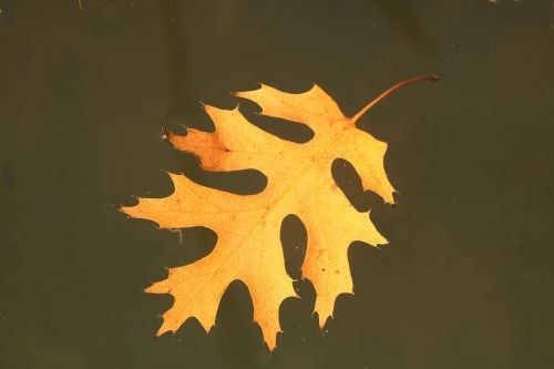 Autumn Leaf Floating In Water