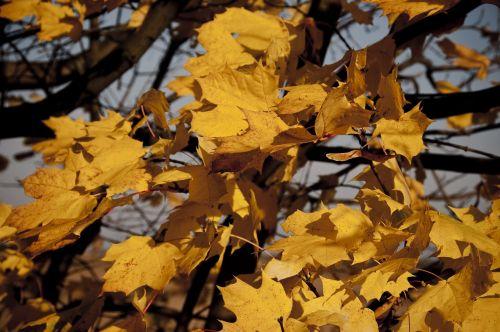 autumn leaves yellow detail of autumn tree