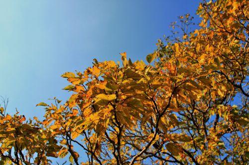 Autumn Leaves Of Japanese Raisin