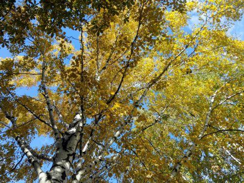 autumn nature autumn birch autumn day