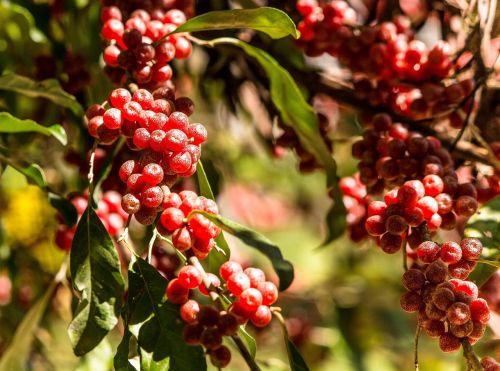 autumn olive japanese silverberry invasive plant