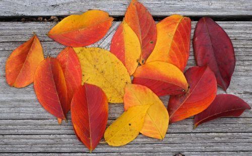 autumn palette crepe myrtle leaves crepe myrtle