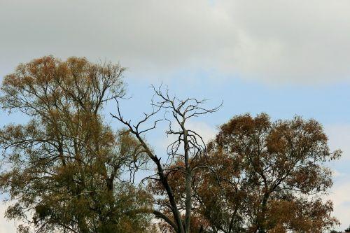 autumn starting trees eucalyptus