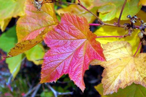 autumn teton thimbleberry  thimbleberry  autumn