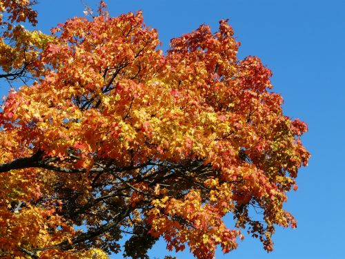 autumn tree maple coloring
