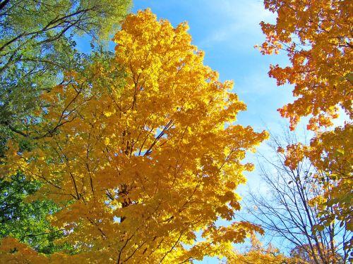 ruduo, kritimas, medžiai, lapai, mėlynas, dangus, klevas, rudens medžiai