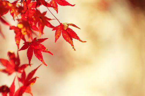 autumnal leaves maple autumn