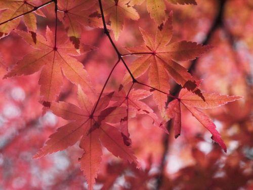 autumnal leaves autumn aomoriya