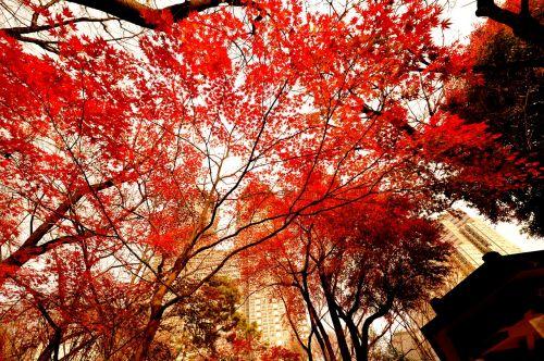 autumnal leaves evening japan