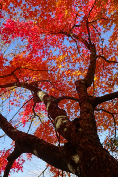 autumnal leaves red leaves deciduous trees