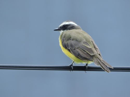 ave,geltona,zoologijos sodas,gamta,gyvūnas,gyvūnai,piko,spalva,paukštis,plumėjimas,egzotinė paukštis,rašiklis