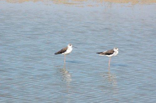 ave  doñana national park  stilts