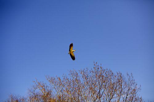 ave i bird flying wings
