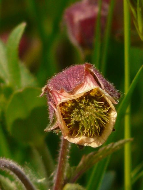 avens pointed flower blossom