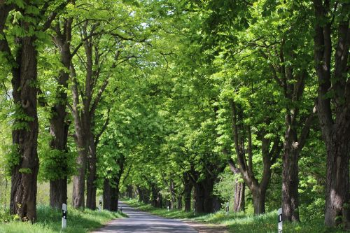 avenue landscape tree lined avenue
