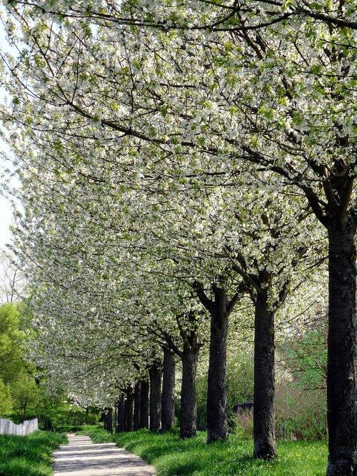 avenue  cherry blossom  flowers