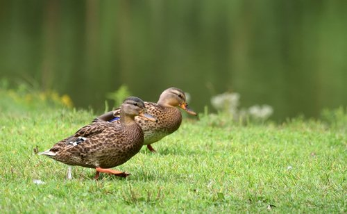 avian  ducks  wildlife
